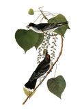 Audubon: Kingbird  1827-38