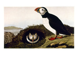 Audubon: Puffin  1827-38