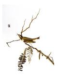 Audubon: Vireo  1827-38