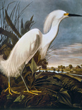 Audubon: Egret
