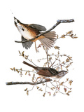 Audubon: Sparrow  1827-38