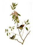 Audubon: Kinglet  1827