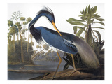 Audubon: Heron  1827