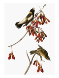 Audubon: Bobolink