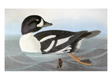 Audubon: Duck
