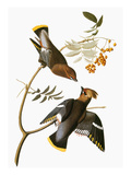 Audubon: Waxwing