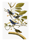 Audubon: Bunting  1827-38