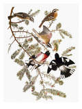 Audubon: Grosbeak