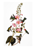 Audubon: Hummingbird