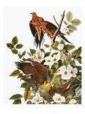 Audubon: Dove
