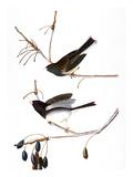Audubon: Junco  1827