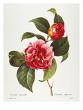 Camellia  1833