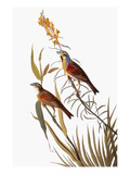 Audubon: Dickcissel