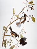 Audubon: Chickadee