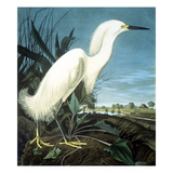 Snowy Heron