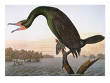 Audubon: Cormorant