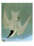 Audubon: Tern