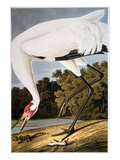 Audubon: Whooping Crane