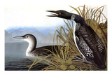 Audubon: Loon  1827
