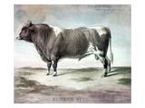 Durham Bull  1856