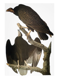 Audubon: Turkey Vulture