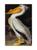 Audubon: Pelican