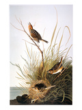 Audubon: Finch