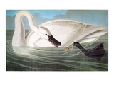 Audubon: Trumpeter Swan