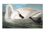Audubon: Trumpeter Swan