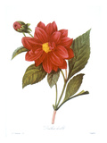Dahlia (Dahlia Pinnata)
