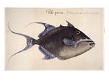 Trigger-Fish  1585