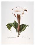 Redoute: Datura  1833