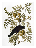 Audubon: Crow