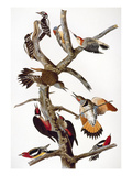 Audubon: Woodpeckers