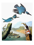 Audubon: Kingfisher