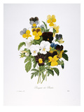 Redoute: Pansy  1833