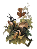 Audubon: Thrasher