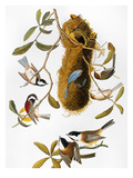 Audubon: Titmouse