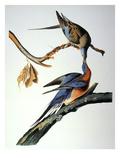 Audubon: Passenger Pigeon