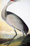 Audubon: Sandhill Crane