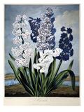Thornton: Hyacinths