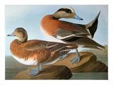 Audubon: Wigeon  1827-38