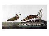 Audubon: Plover  1827-38