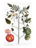 Tomato Plant  1735