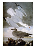 Audubon: Gull