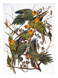 Audubon: Parakeet
