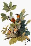 Audubon: Robin