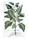 Eggplant  1735