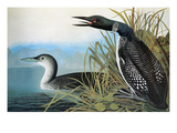Audubon: Common Loon
