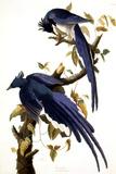 Columbia Jay  1830